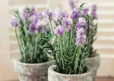 Potted Lavender Plant